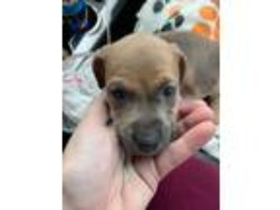 Adopt Bourbon a Tan/Yellow/Fawn - with White American Pit Bull Terrier / Hound