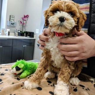 Absolutely Adorable, Cockapoo Cuties!