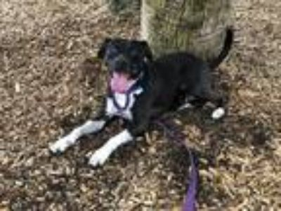 Adopt LILY a Black - with White Flat-Coated Retriever / Mixed dog in West Palm