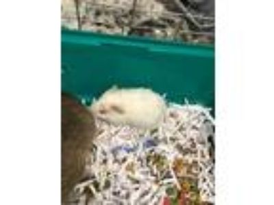 Adopt Baby a White Guinea Pig / Guinea Pig / Mixed small animal in Waldorf