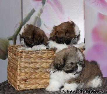 Gorgeous White Coat shih tzu puppies