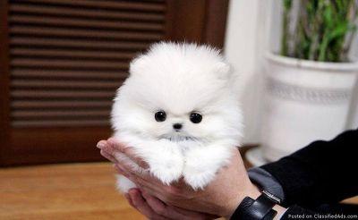 # Cute MINI Pomeranian Puppies!!