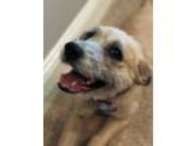 Adopt Bailey a Tan/Yellow/Fawn Border Terrier / Schnauzer (Standard) / Mixed dog