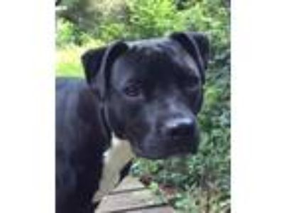 Adopt Leia (**Courtesy Post**) a Pit Bull Terrier, Labrador Retriever