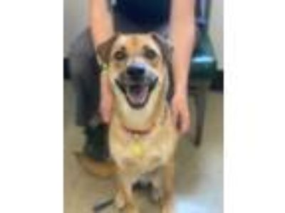 Adopt Fern 82 a Red/Golden/Orange/Chestnut Shepherd (Unknown Type) / Mixed dog