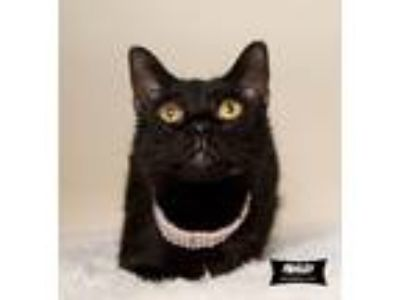 Adopt Paisley (special story) a All Black American Bobtail (short coat) cat in