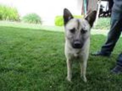Adopt MACY a German Shepherd Dog / Mixed dog in Lindsay, CA (25328562)