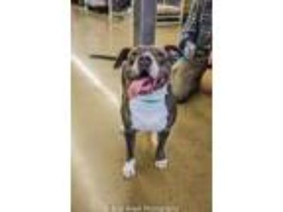 Adopt Tallulah Lula (See Video) a Pit Bull Terrier / Mixed dog in Munford