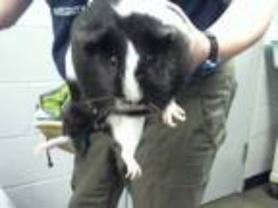 Adopt a Black Guinea Pig / Mixed small animal in Charlotte, NC (25824700)
