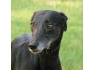 Adopt Jenna a Greyhound