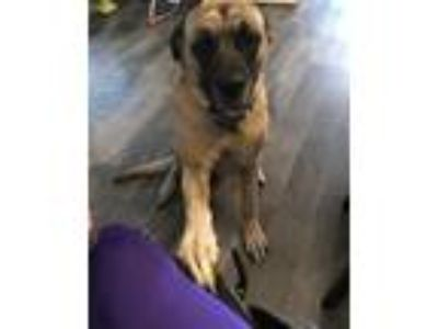 Adopt Cole a Tan/Yellow/Fawn - with Black Bullmastiff / Mixed dog in Nebraska
