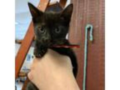 Adopt Merida a All Black Domestic Shorthair cat in Pendleton, NY (25581597)