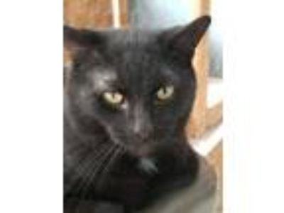 Adopt Norman a Domestic Short Hair