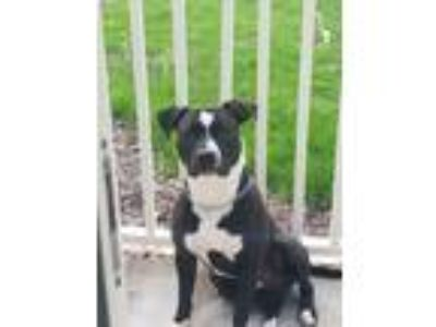 Adopt Sam a Black American Pit Bull Terrier dog in Schaumburg, IL (25324605)