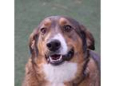 Adopt SKIPPY a Tricolor (Tan/Brown & Black & White) Labrador Retriever / Mixed