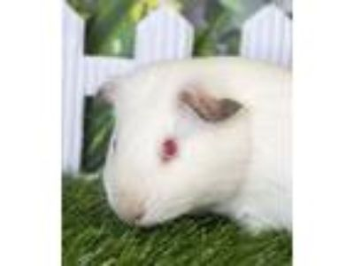 Adopt Nibble (ID 22350/1141) a Guinea Pig