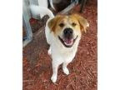Adopt TIMBER a Labrador Retriever, Border Collie