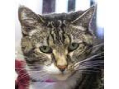 Adopt Liza a Brown or Chocolate Domestic Shorthair / Mixed cat in Fairport