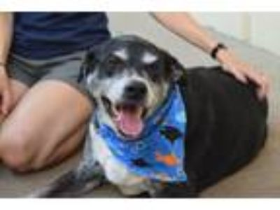 Adopt Borneo a Black - with White Labrador Retriever / Mixed dog in McKinney