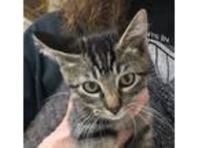 Adopt Leo a Brown Tabby Domestic Shorthair / Mixed (short coat) cat in Mobile