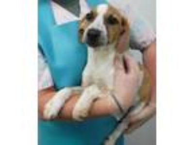 Adopt Rupert a Australian Cattle Dog / Blue Heeler