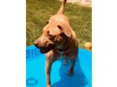 Adopt Ginger a Tan/Yellow/Fawn American Staffordshire Terrier / Boxer / Mixed