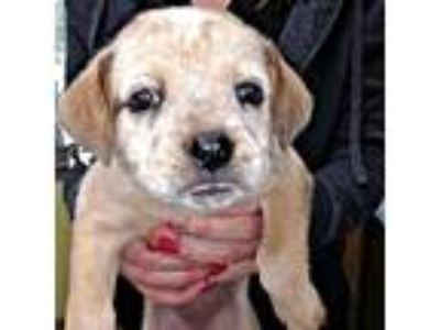 Adopt Niblet a Tan/Yellow/Fawn - with White Australian Cattle Dog / Labrador