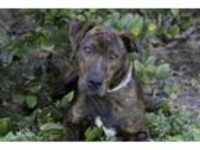 Adopt MILA a Catahoula Leopard Dog, Mixed Breed