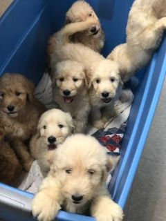 Goldendoodle-Poodle (Standard) Mix PUPPY FOR SALE ADN-96006 - 8 beautiful goldendoodle puppies ONLY FEMALES