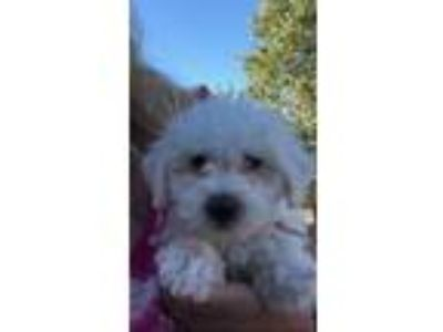 Adopt STRUDEL a White Miniature Poodle / Bichon Frise / Mixed dog in Carson
