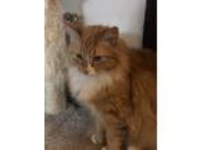 Adopt Priscilla a Orange or Red Tabby Domestic Mediumhair cat in Newport Beach