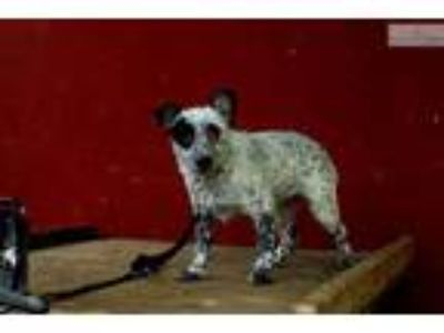 blue mottled mini queensland Heeler male