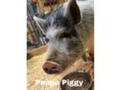 Adopt Peppy Piggy a Pig (Potbellied) farm-type animal in Matthews, IN (24310166)
