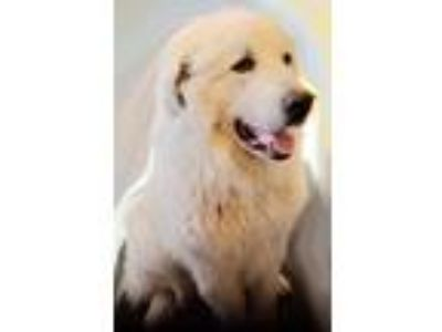 Adopt Brady (Bear) a Great Pyrenees