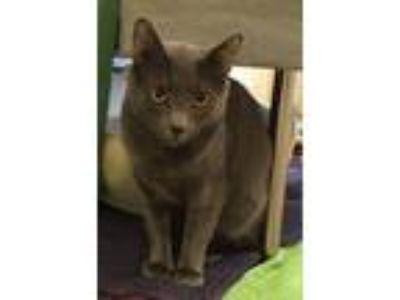 Adopt Smokey a Domestic Shorthair / Mixed cat in Pittsburgh, PA (25546719)