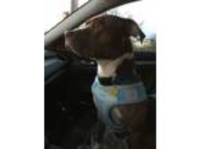 Adopt Myles a Pit Bull Terrier, Mixed Breed