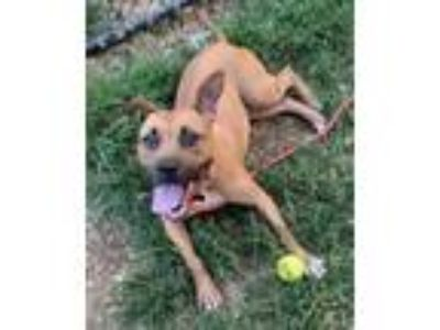 Adopt Beth a Pit Bull Terrier, Mixed Breed