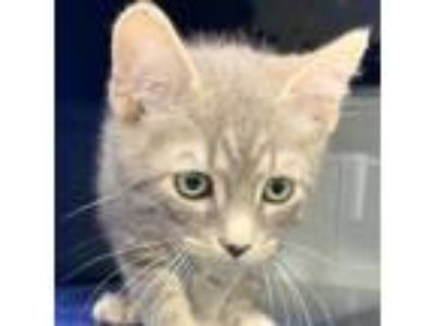 Adopt Archie a Gray or Blue Domestic Shorthair cat in North Hollywood