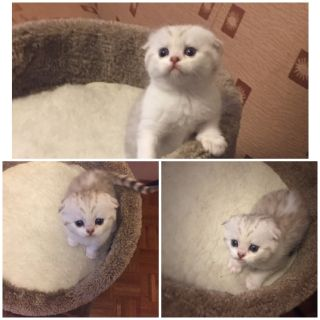 Scottish fold girl
