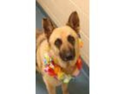 Adopt Star a Black - with Tan, Yellow or Fawn German Shepherd Dog / Mixed dog in