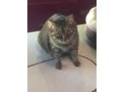 Adopt Lucky a Gray, Blue or Silver Tabby Domestic Shorthair / Mixed cat in The