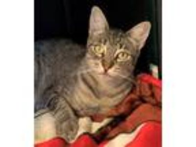 Adopt Aphrodite a Domestic Shorthair / Mixed cat in Sherwood, OR (25652798)