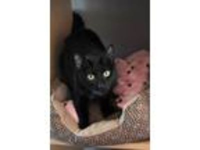 Adopt September a All Black Domestic Shorthair / Mixed cat in Washougal