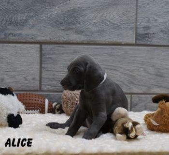 Weimaraner PUPPY FOR SALE ADN-90283 - Weimaraner AKC puppies champion pedigree