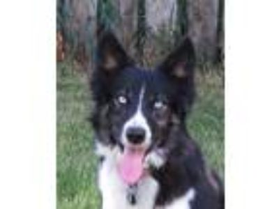 Adopt LULU a Black - with White Border Collie / Siberian Husky / Mixed dog in