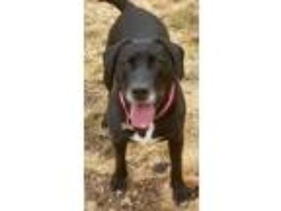 Adopt SASHA a Black - with White Labrador Retriever / Mixed dog in Coudersport