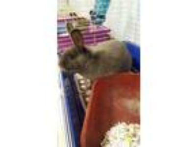 Adopt Happy a Grey/Silver Havana / Other/Unknown / Mixed rabbit in Lafayette