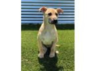 Adopt Zeb Justice a Shepherd (Unknown Type) / Mixed dog in Denton, TX (25318440)