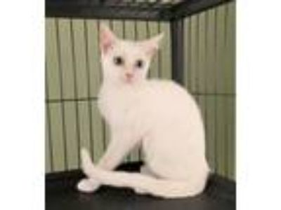 Adopt Molly the Beautiful White Kitten a Domestic Short Hair