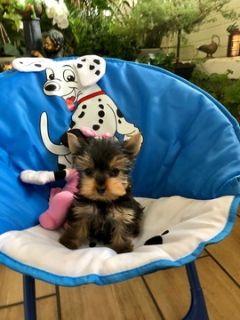 Yorkshire Terrier PUPPY FOR SALE ADN-95377 - Micro teacup Yorkie